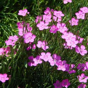 Гвоздичка-травянка - прекрасный почвопокровник