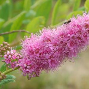 Променад мушки по розовой спирее