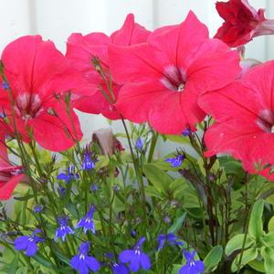 Красное и синее у Наденьки в саду: красивей сочетания, пожалуй, не найду!