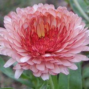 Календулу от заморозка я уберегла. Таким вот чудом розовым красотка расцвела!