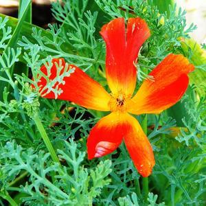 Эшшольция - цветок-огонек!