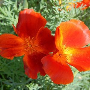 Оранжевые и шелковые