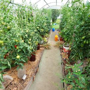 В гостях у томатов