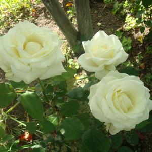 Белые розы, белые розы... Беззащитны цветы...