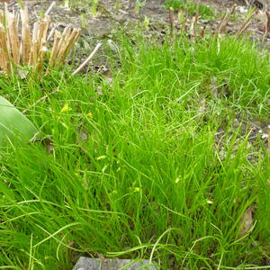 Мягкие зеленые коврики. Это гусиный лук