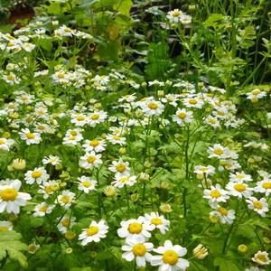 Матрикария растет самосевом по всему саду-огороду, где захочет