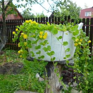 Вербейник монетчатый выращиваю, как ампельное растение