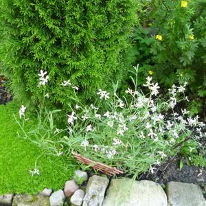 Маленькие цветочки маттиолы источают восхитительный аромат
