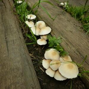 Что за грибы выросли у меня вдоль дорожки?