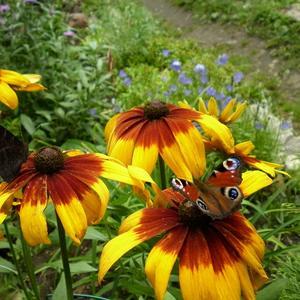 Очень любят бабочки рудбекию!