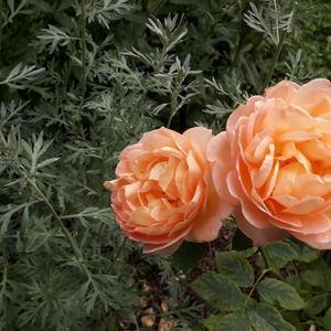 Розы и полынь