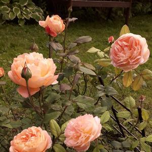 Роза леди Эмма Гамильтон