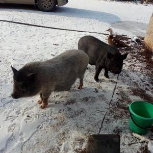 Свинки на прогулке