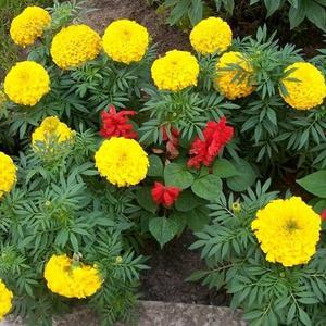 Бархатцы и сальвии цветут