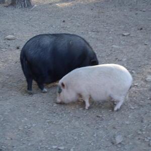 Вот такие породистые свинки