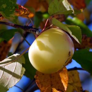 Яблочко с дикой яблоньки