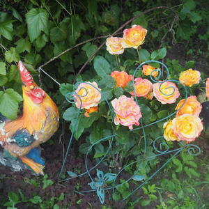 Петушок пропел 5 раз - роза расцвела у нас!
