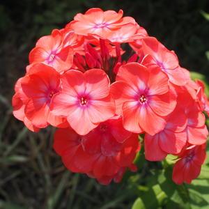 Флокс - красивый цвет!