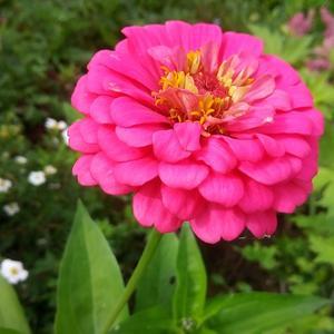 Цинния розовая