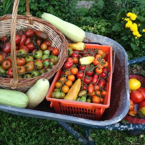 Собираем помидорки... тачками!