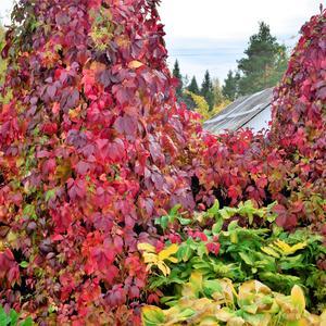 Живая изгородь в осенних красках