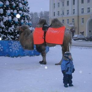 Живой верблюд - экзотика на новогодней елке