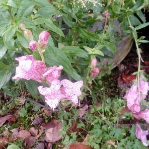 Антирриум Пурпурный вальс от Русского огорода