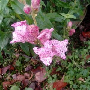 Шикарный антирриум Пурпурный вальс от Русского огорода