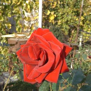 Осенняя роза (октябрь)