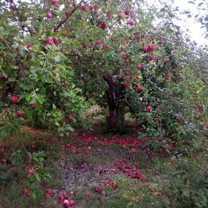 Мои яблоньки