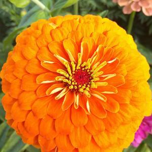 Оранжевая королева цинний