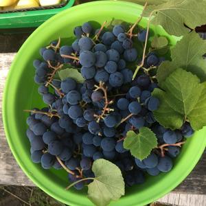 Мой самый первый виноград!
