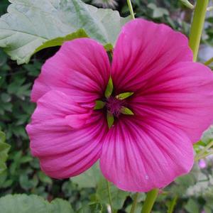 Малопа Карминная роза
