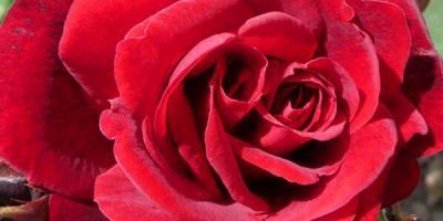 Можно ли пересадить розу в конце мая?