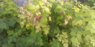 Подскажите, почему листья малины теряют цвет?