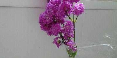 Что за цветок садовый?