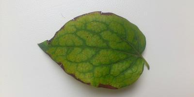 Желтеют листья клематиса на прошлогоднем побеге. В чем причина?