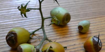 """Помогите определить болезнь томата """"Де Барао чёрный"""""""