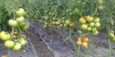 Отменные томаты, выращенные в простой плёночной тепличке