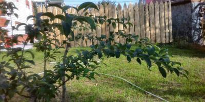 Помогите определить, стелющаяся ли эта яблоня?