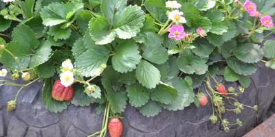 Передаются ли сортовые качества картофеля и клубники при посеве семенами?