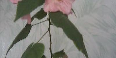 Подскажите название комнатного цветка