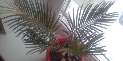 Подскажите, как называется эта пальма