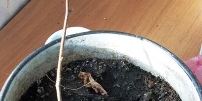 Будет ли расти в Средней полосе России экзотический зизифус?