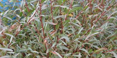 Подскажите, что это за растения и стоит ли посадить их у себя в саду?