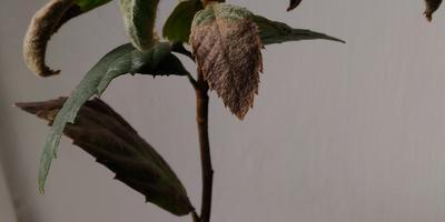 Как остановить усыхание саженцев мушмулы?