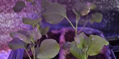 Помогите понять, что происходит с рассадой баклажанов и как ее спасти?