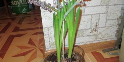 Можно ли высаживать гиацинт, купленный в цветочном магазине?