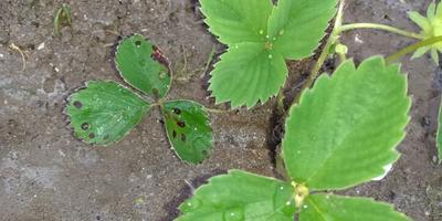 Пятна на листьях клубники. Что это и как с этим бороться?