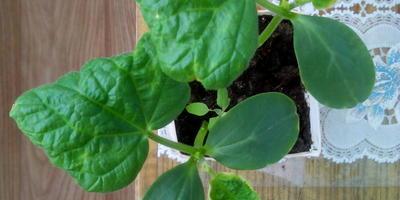 Почему съёживается лист рассады огурца?